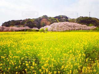 フィールド内の黄色の花の写真・画像素材[1156404]