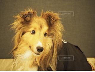 カメラを見て犬の写真・画像素材[1150159]