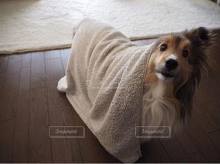横になって、カメラを見ている犬の写真・画像素材[1150160]