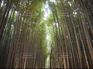 嵐山の竹林の写真・画像素材[1261797]