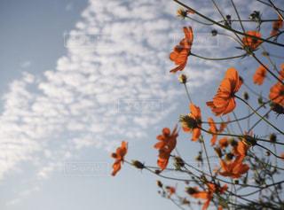 秋桜の写真・画像素材[1602630]