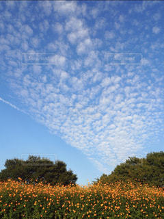 コスモスと青空の写真・画像素材[1602631]