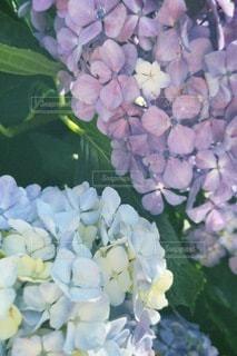 紫陽花の写真・画像素材[3379638]