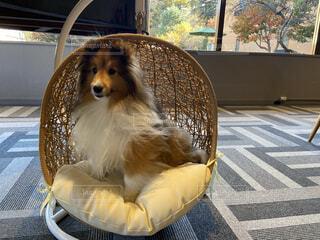 犬用のソファーの写真・画像素材[3900905]