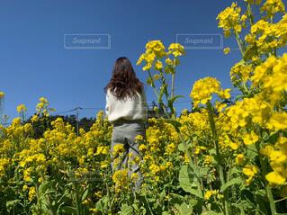 なの花畑の写真・画像素材[4277875]