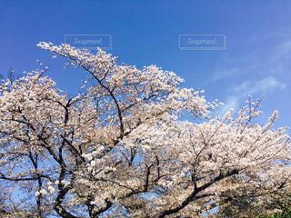 桜のアップの写真・画像素材[1122239]