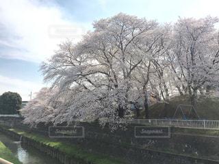 空,桜,屋外,樹木,ライフスタイル,3月,埼玉県,日中,さいたま市,2018年