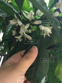 植物を持っている手の写真・画像素材[1157890]