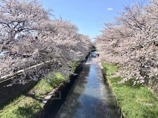 風景,空,花,春,屋外,水面,樹木,草木,日中,さくら,ブロッサム