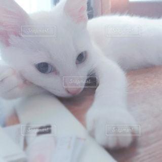 その口を開いて白猫の写真・画像素材[918390]