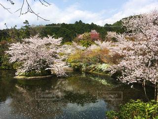 桜,京都,水辺