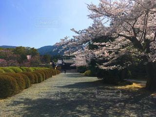 桜,京都,お寺,随心院