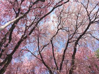 桜,京都,龍安寺,お寺,枝垂れ桜