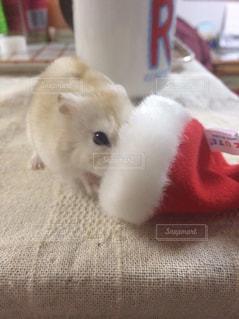 ハムスター,クリスマス,サンタ帽子