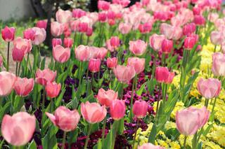 近くにピンクの花の束のアップの写真・画像素材[1135635]