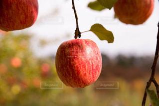 りんごの写真・画像素材[921821]
