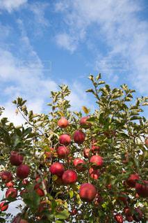 りんごの写真・画像素材[921823]