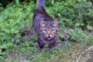野良猫の写真・画像素材[949762]