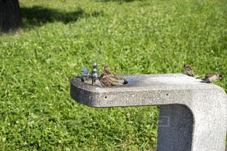 スズメの水浴びの写真・画像素材[1348404]