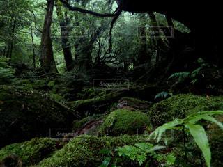 屋久島 白谷雲水峡の写真・画像素材[2260321]