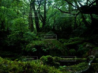 屋久島 白谷雲水峡の写真・画像素材[2260323]