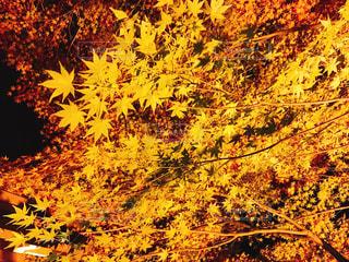 黄色い紅葉の写真・画像素材[1640139]