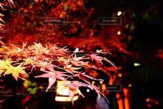 紅葉と灯りの写真・画像素材[1640152]
