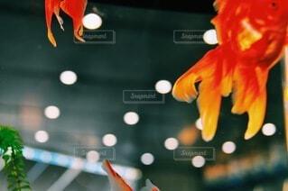 月と金魚の写真・画像素材[3941048]