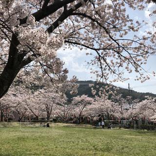 桜,福井県小浜市,小浜公園
