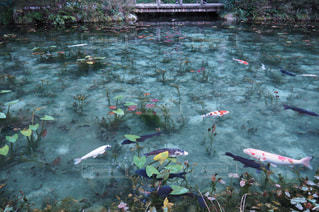 モネの池の写真・画像素材[1021715]