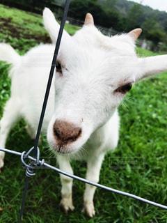 近くに山羊のアップの写真・画像素材[928142]