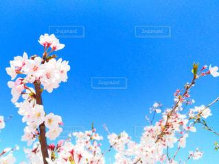 青空と桜の写真・画像素材[1095492]