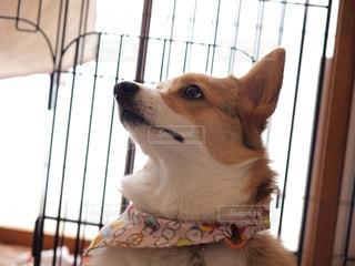 コーギー犬 - No.1184112