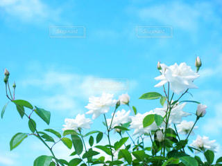 バラと空の写真・画像素材[1312992]