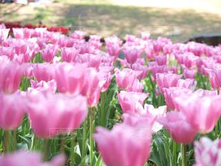 近くにピンクの花の束のアップの写真・画像素材[1378076]