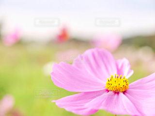 花,秋,緑,植物,コスモス,flower,秋桜