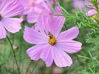 花,秋,コスモス,虫,秋桜,ミツバチ,はち