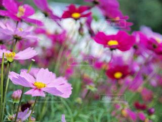 花,秋,植物,コスモス,秋桜