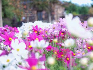 花,秋,ピンク,植物,コスモス,秋桜