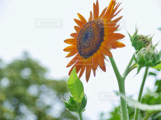 花,夏,植物,ひまわり,黄色,未来,明るい,ポジティブ