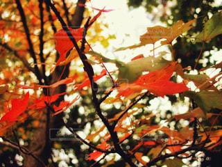 秋の木の葉の写真・画像素材[1629626]