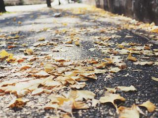 いちょうの落ち葉の写真・画像素材[1654218]