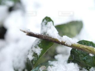 冬,雪,緑,白,枝,葉っぱ