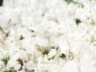 花,白,flower,ホワイト