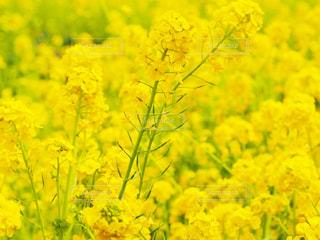 花,春,植物,黄色,菜の花,菜の花畑,ナノハナ