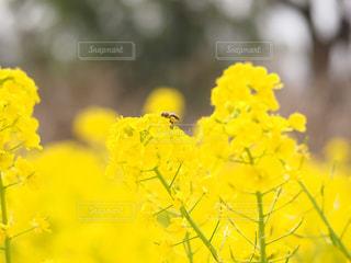公園,花,大阪,植物,晴れ,散歩,黄色,菜の花,虫,菜の花畑,ミツバチ,ハチ,ナノハナ