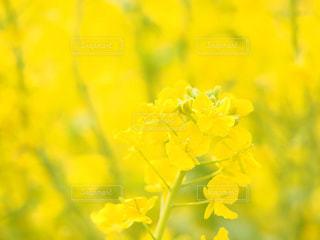 公園,花,大阪,植物,晴れ,散歩,黄色,菜の花,菜の花畑,ナノハナ