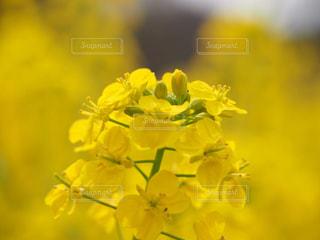 公園,花,大阪,植物,晴れ,散歩,黄色,菜の花,ナノハナ