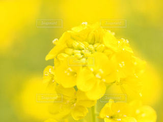 黄色い菜の花の写真・画像素材[1829176]