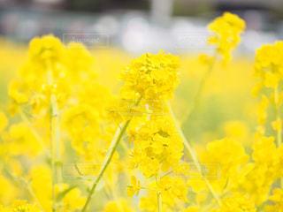 公園,花,大阪,植物,晴れ,散歩,黄色,菜の花,イエロー,菜の花畑,ナノハナ